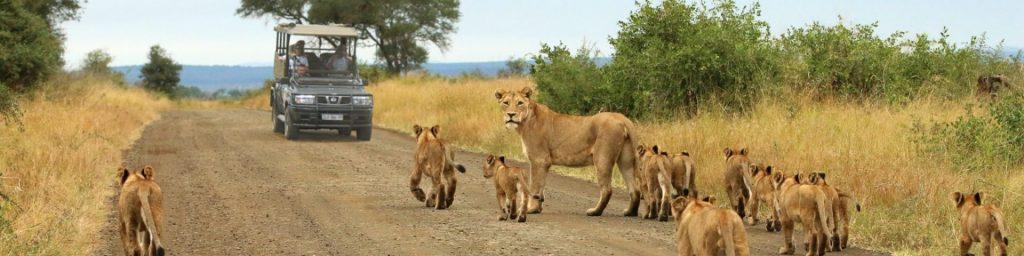 lion sightseeing